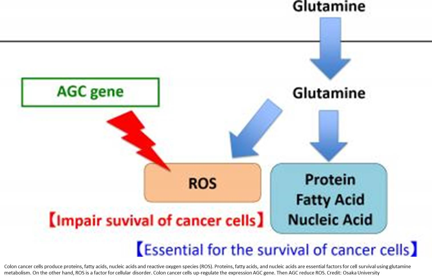 The importance of the glutamine metabolism in colon cancer