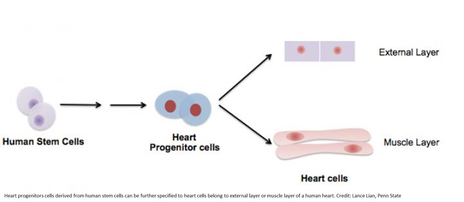 External layer of a human heart was generated from stem cells