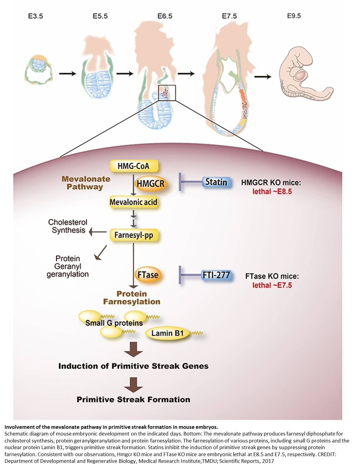 Metabolic pathway essential for embryo development revealed!