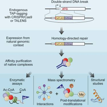 Genome editing tool to map multiprotein complexes in human cells