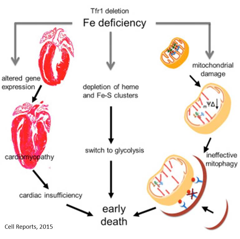 Lethal cardiomyopathy in mice lacking transferrin receptor in the heart