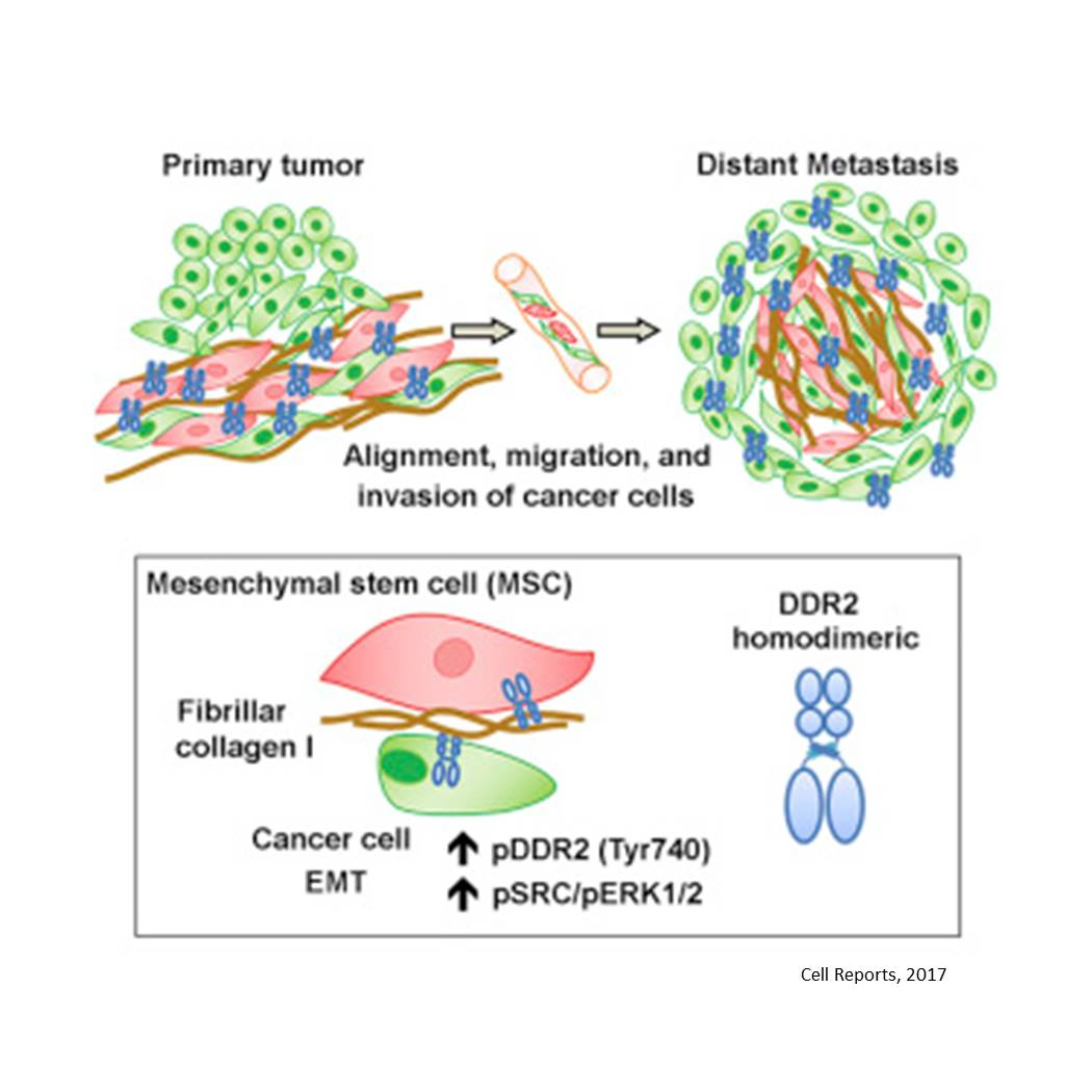 Collagen receptor DDR2 required for breast cancer metastasis