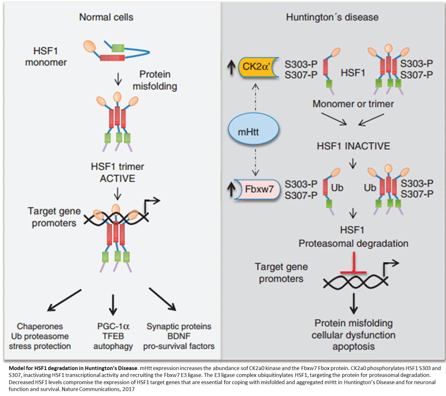 direct path huntingtons disease - HD 1425×1265