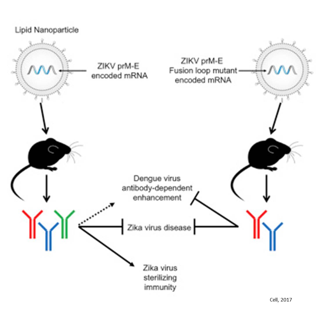 Zika mRNA vaccines can stop viral replication in mice