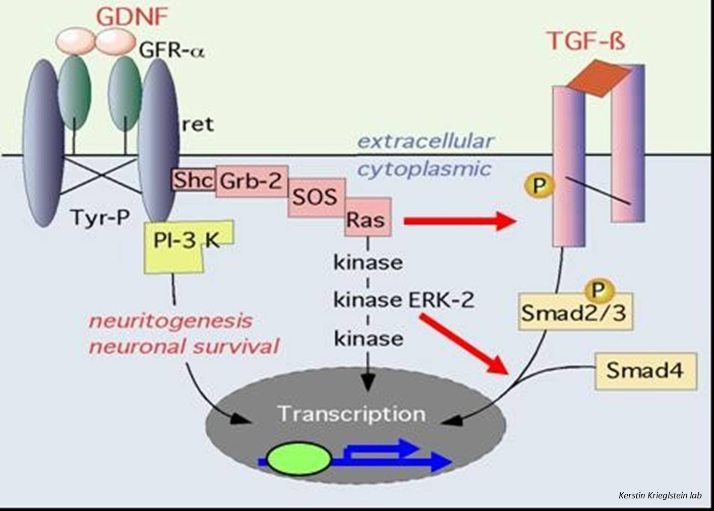 GDNF, an important regulator of dopamine neurons in the brain