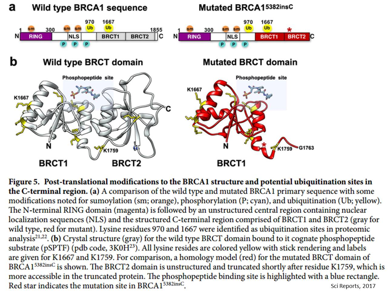 Breast cancer mutation in BRCA1 causes protein to self-destruct