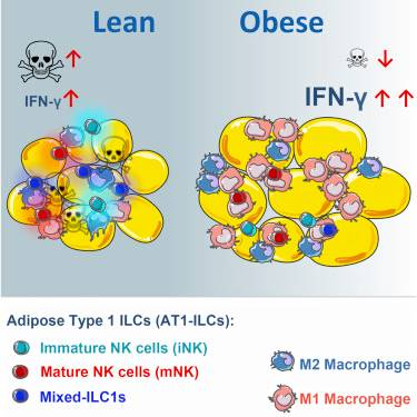 How obesity drives inflammation