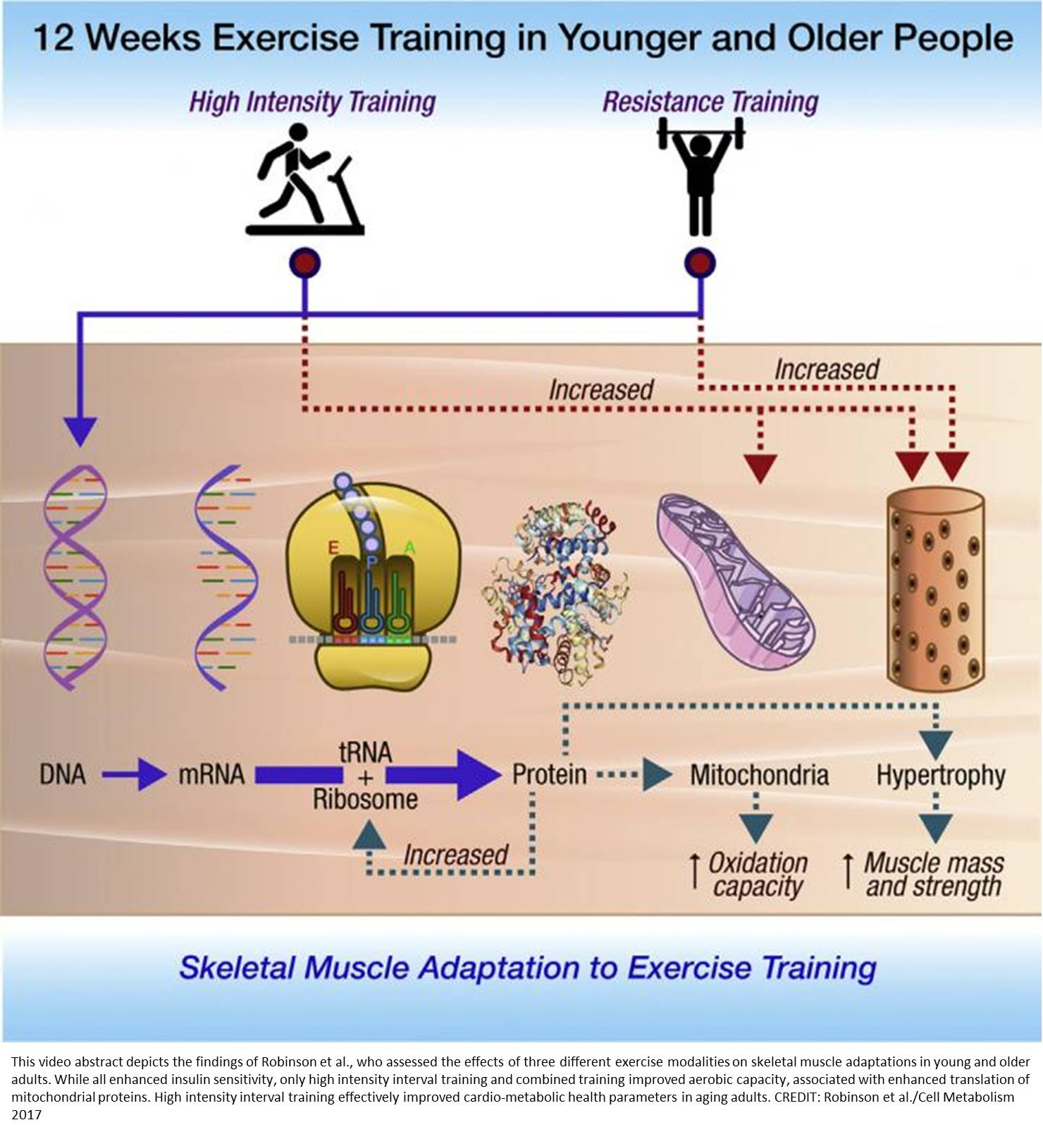 Interval training exercise helps your mitochondria stave off old age