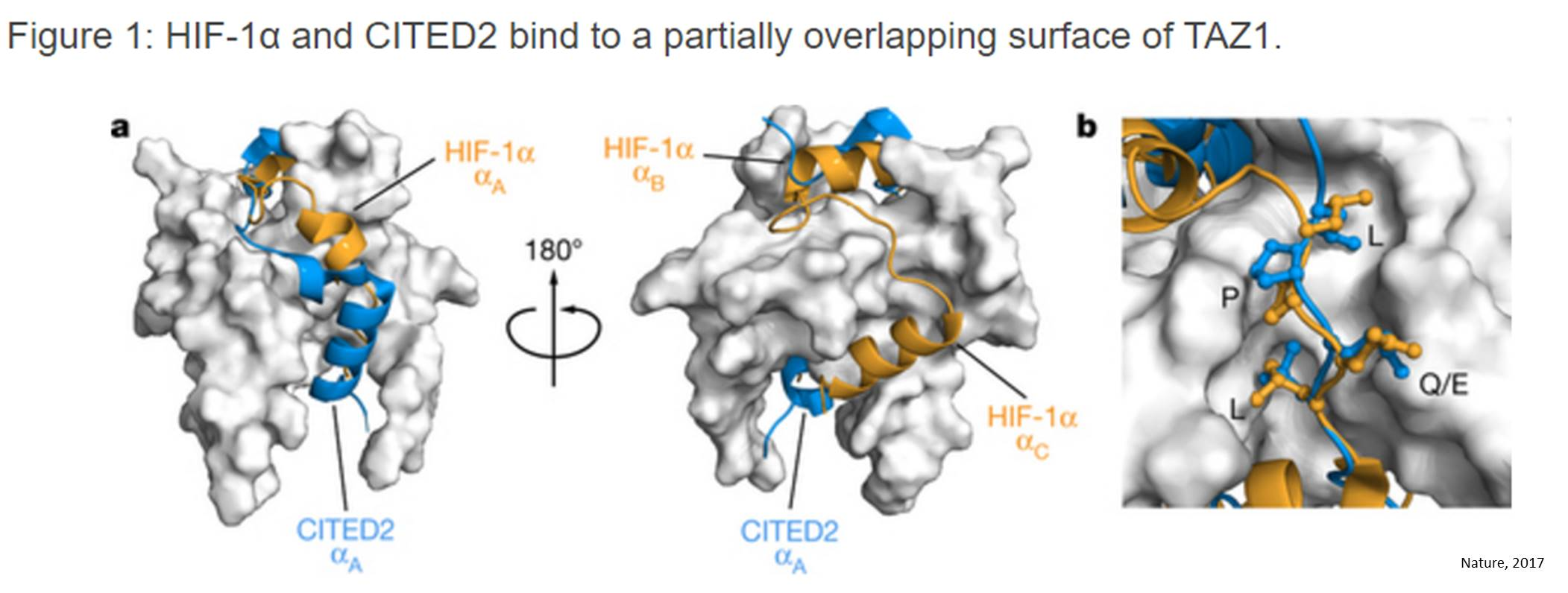New insight into termination of the hypoxic response by a disordered protein switch