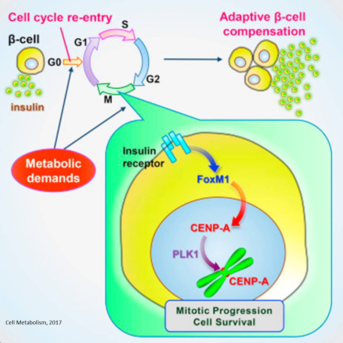 Why insulin producing cells in diabetes fail to divide?