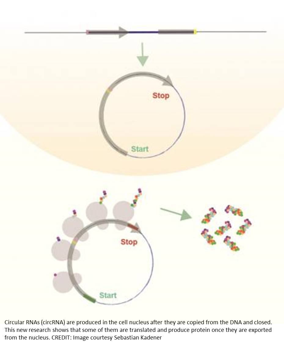 Circular RNA can encode for proteins