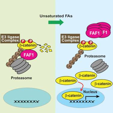 Unsaturated fatty acids stimulate tumor growth through stabilization of β-catenin