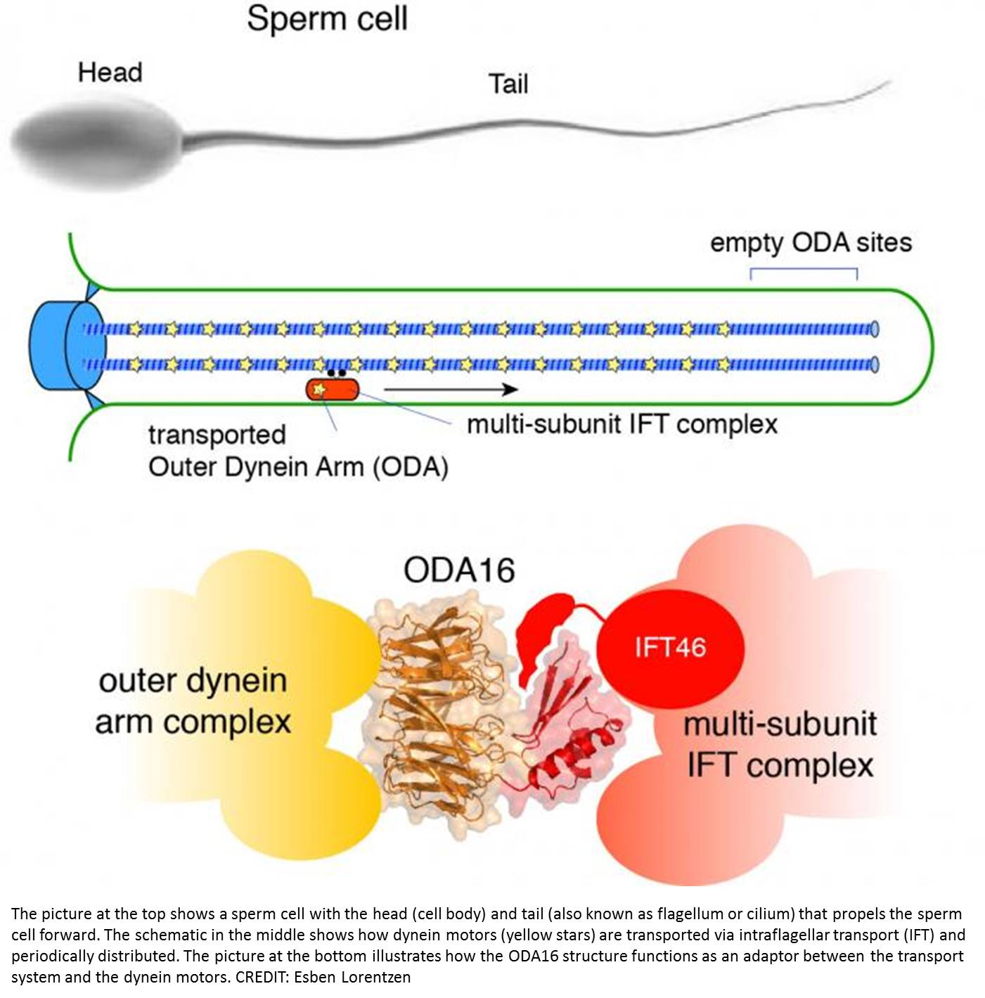 Transport of molecular motors into cilia