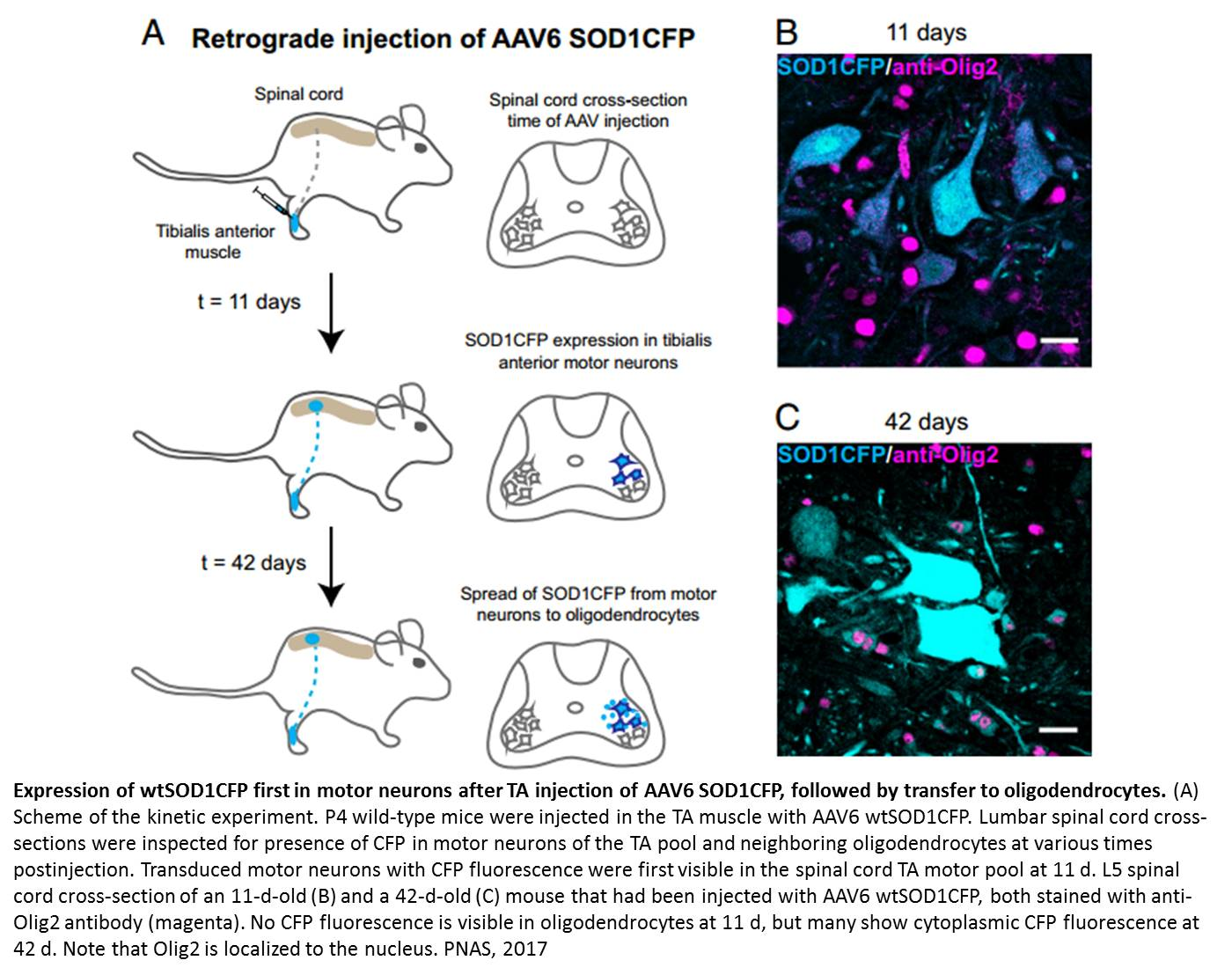 Protein transfer in spinal cord neurons!