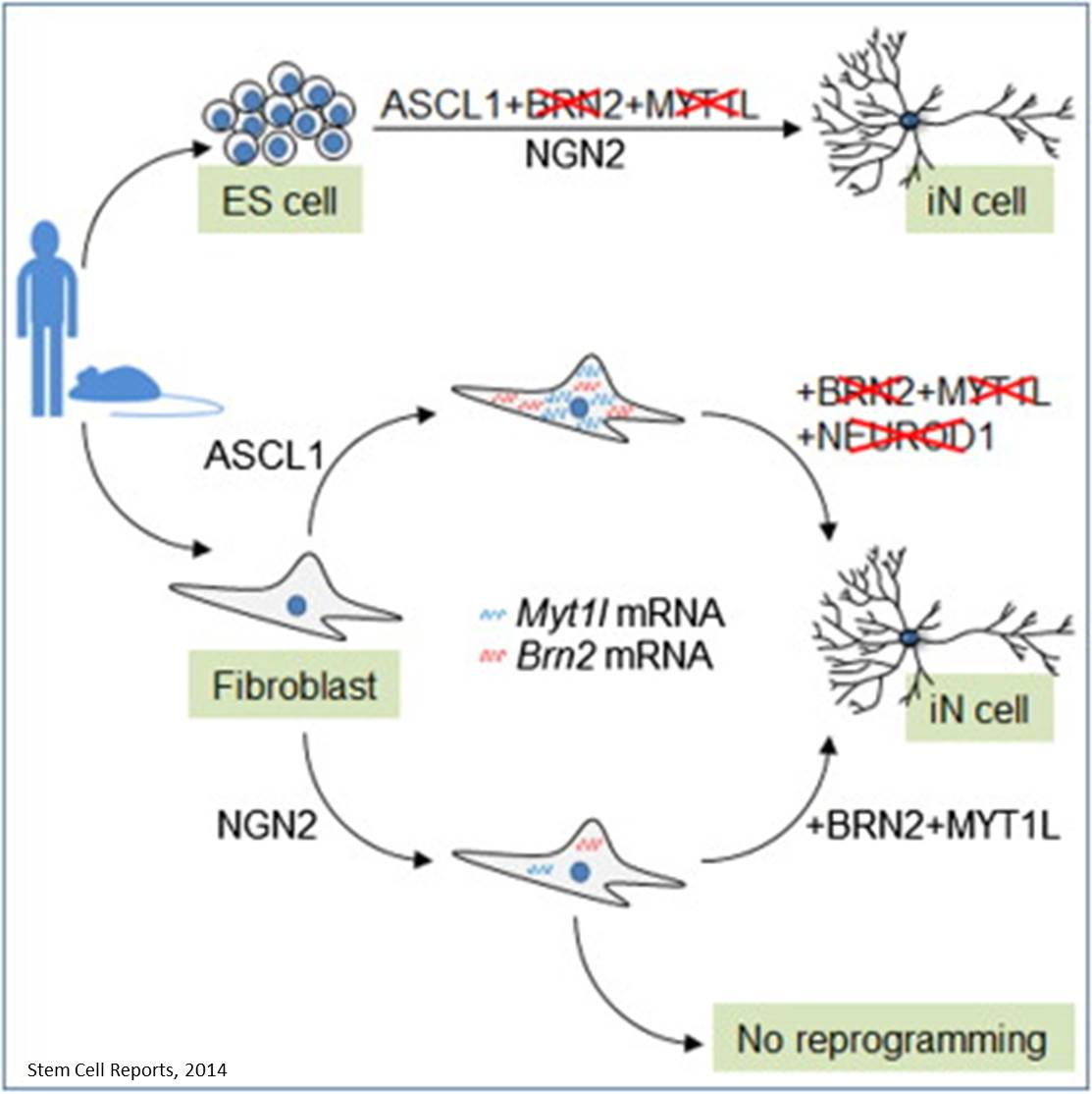 A repressor that suppresses all but neuronal cell fate identified!