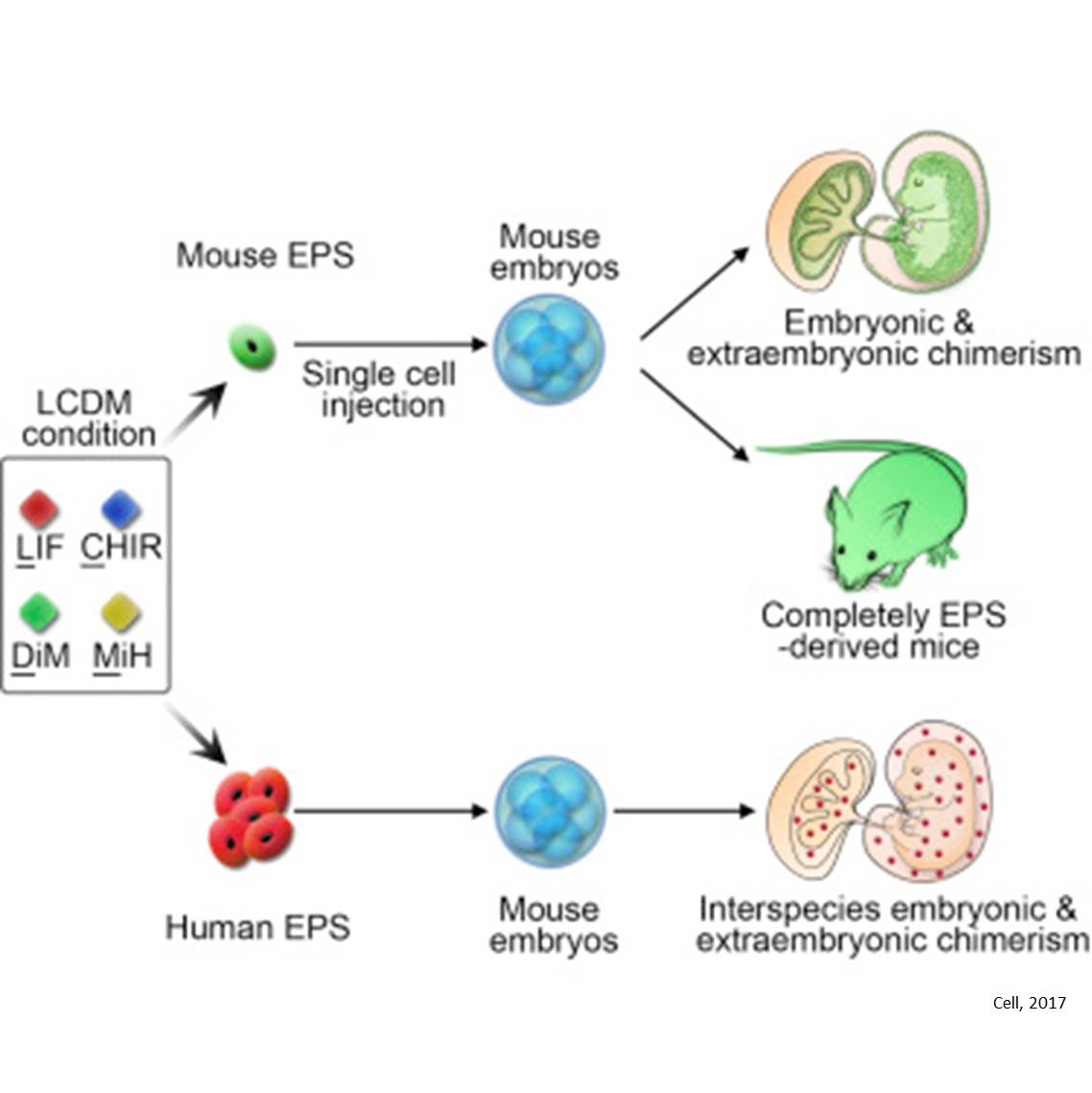 A new technique to generate both embryonic and non-embryonic tissues from cultured stem cells
