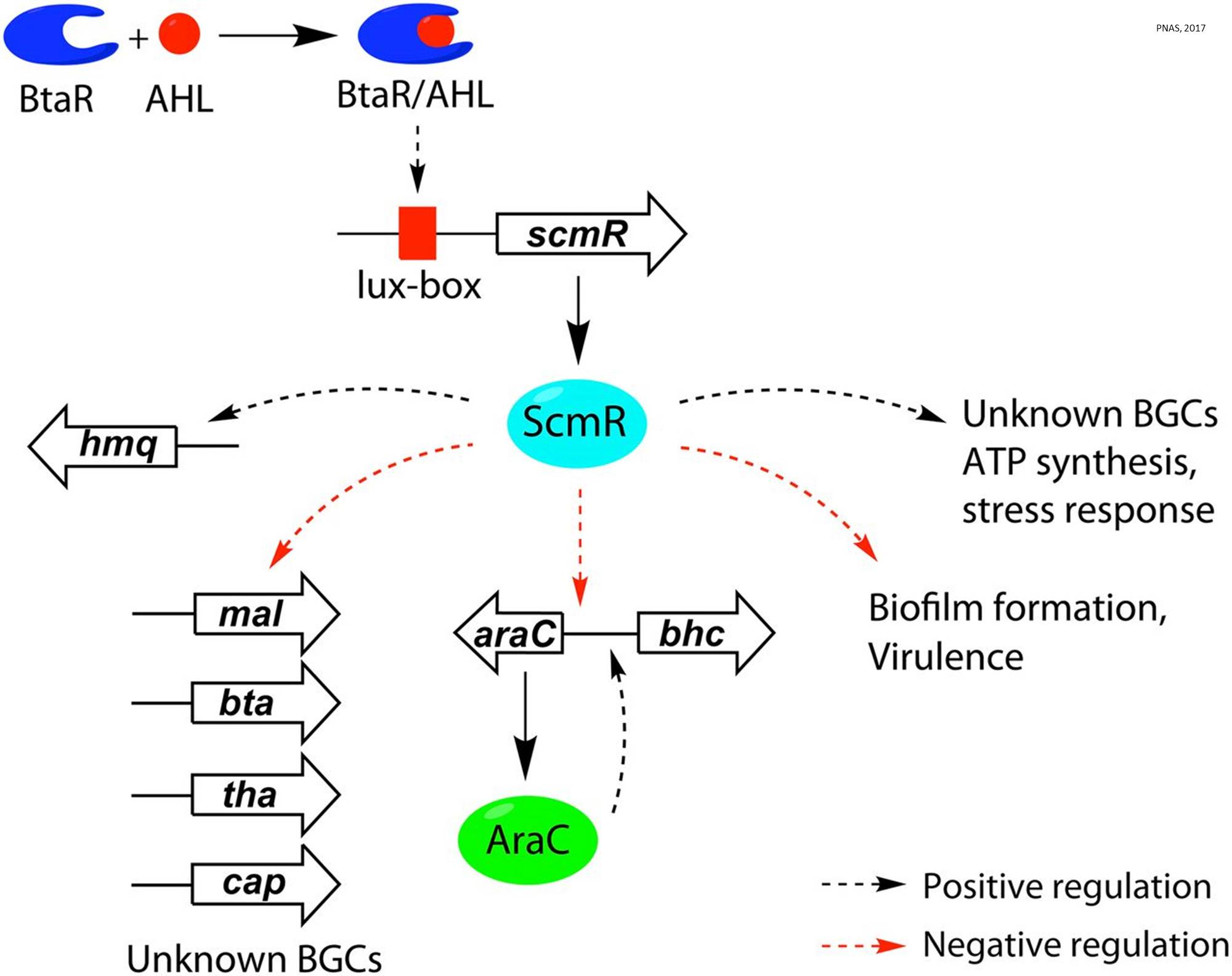 Master switch to turn on silent biosynthetic gene clusters in bacteria discovered!