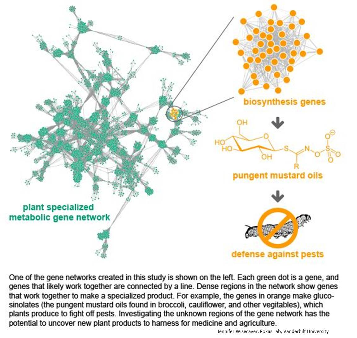Method to unravel gene networks involved in metabolite (drug) synthesis in plants