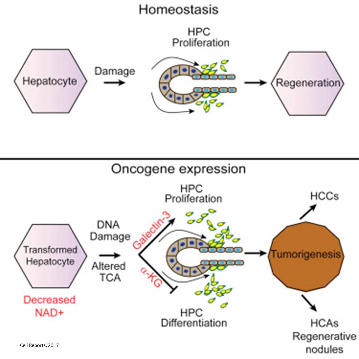 Liver progenitor cells are involved in the development of hepatic tumors