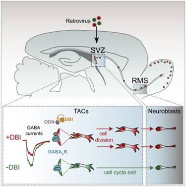 Brain plasticity and its peptide mediator