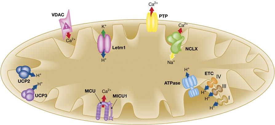 A vital role for mitochondrial calcium exchange in heart function