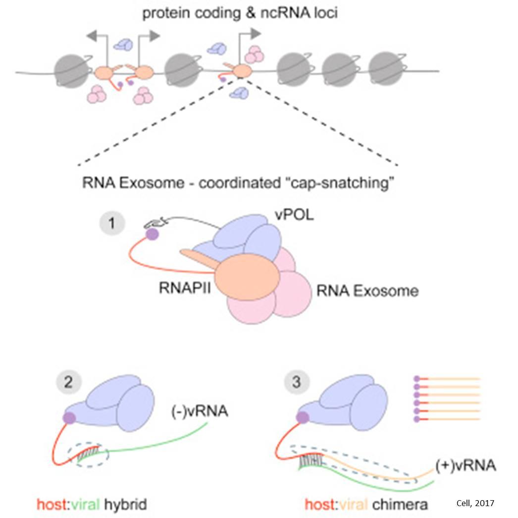 How flu viruses hijack human cells