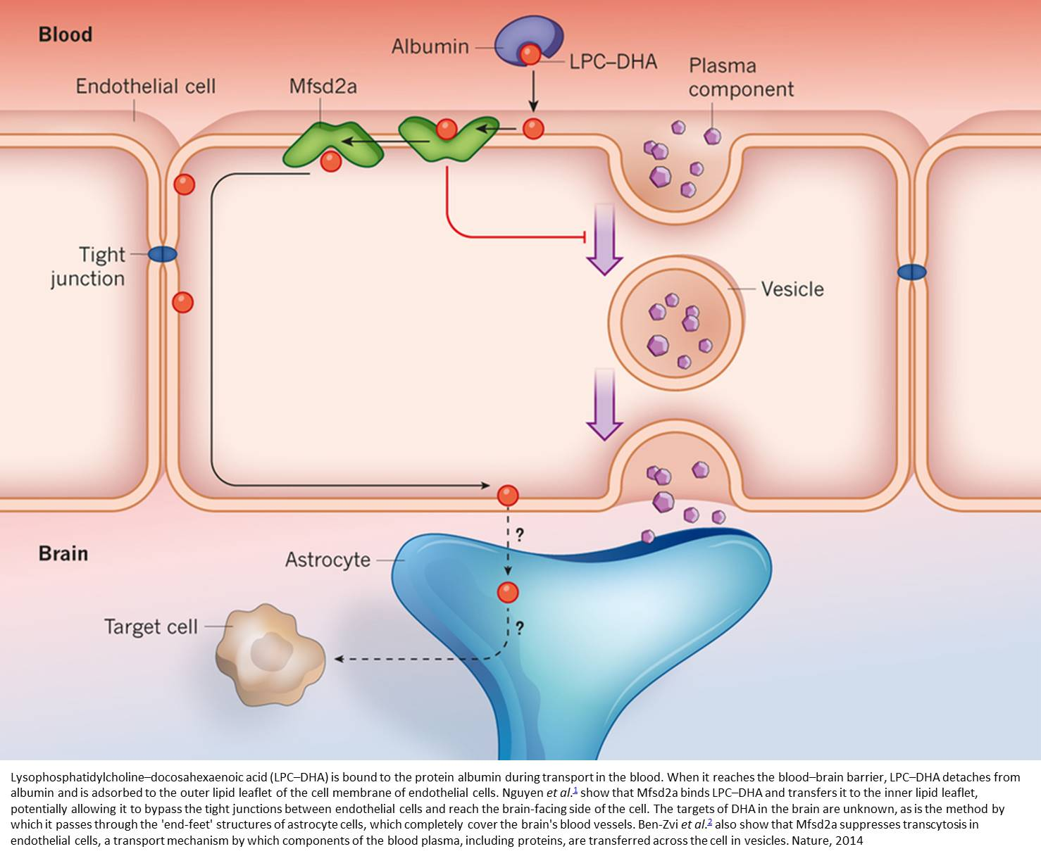Role of omega-3 fatty acids in keeping the blood-brain barrier closed