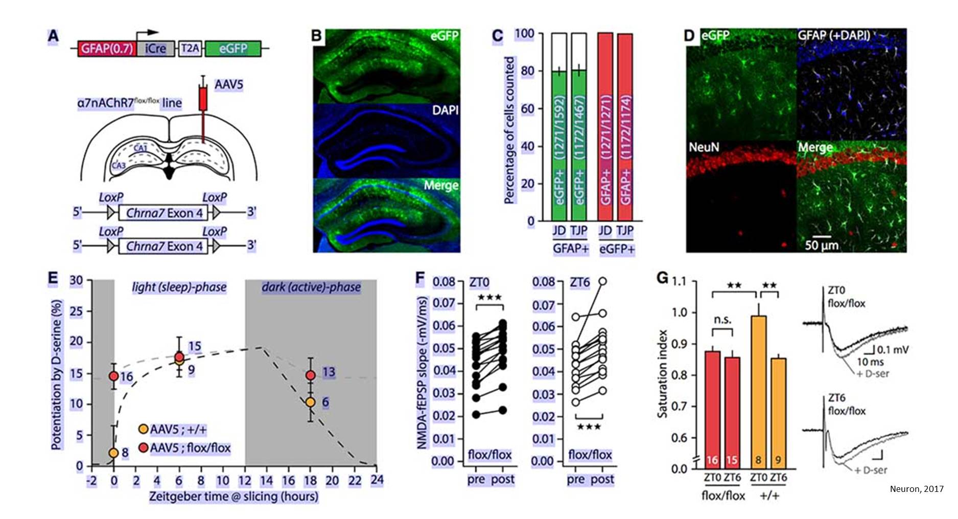 How astrocytes regulate learning and memory by sensing wakefulness