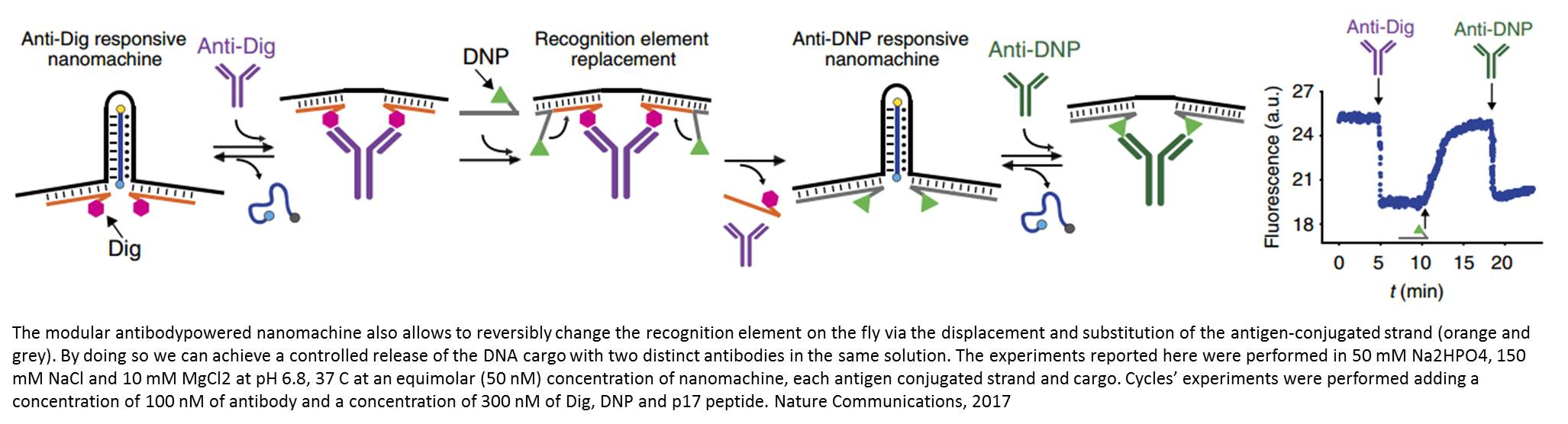 Antibody-powered nucleic acid release using a DNA-based nanomachine
