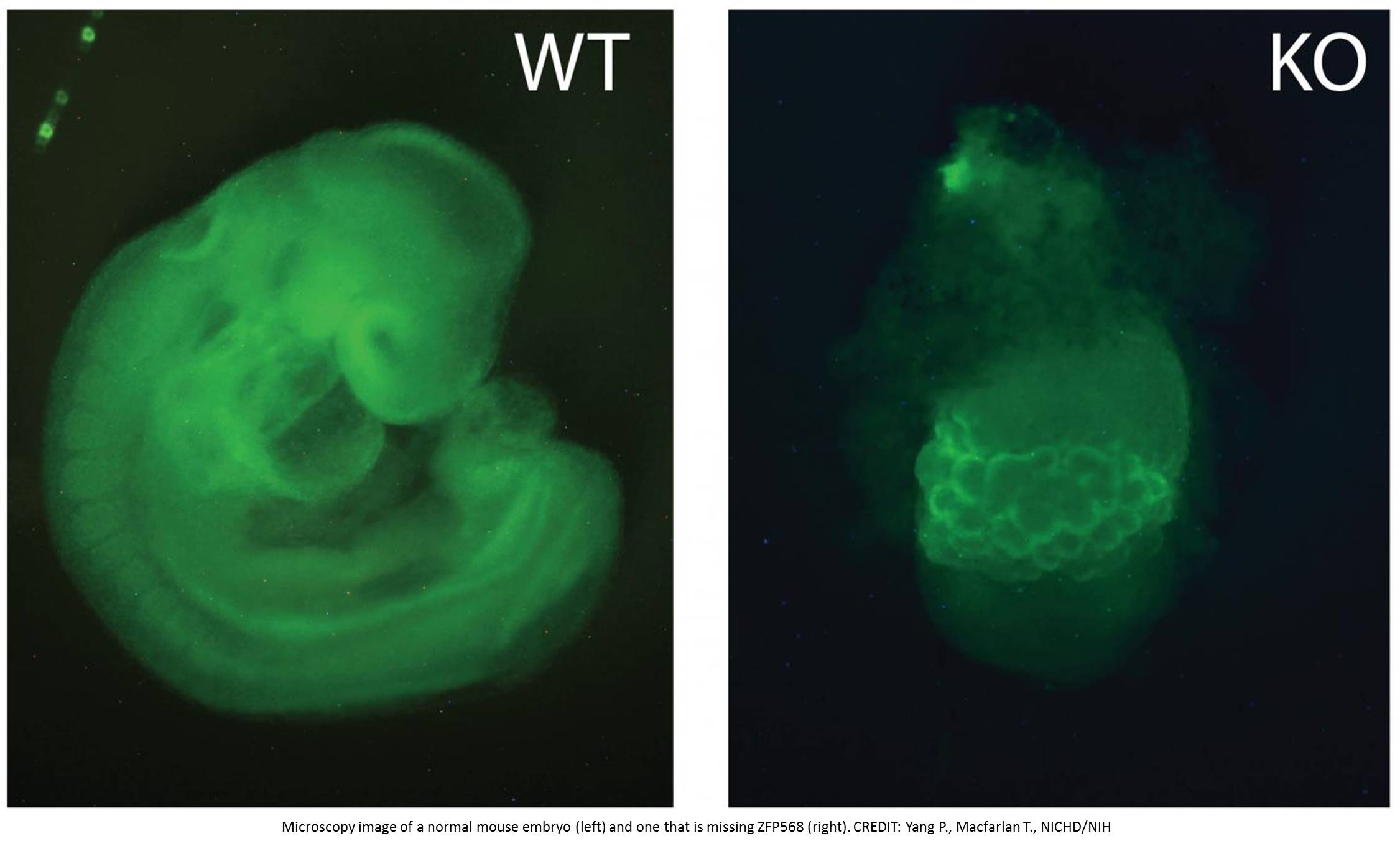 Key regulator of fetal growth in mice identified!