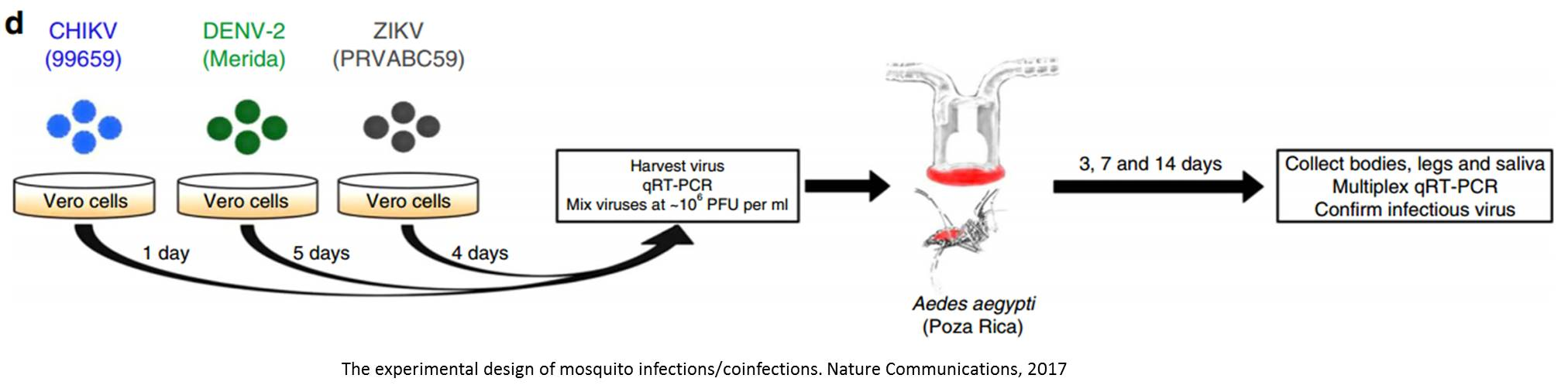 Mosquitoes could transmit multiple viruses simultaneously