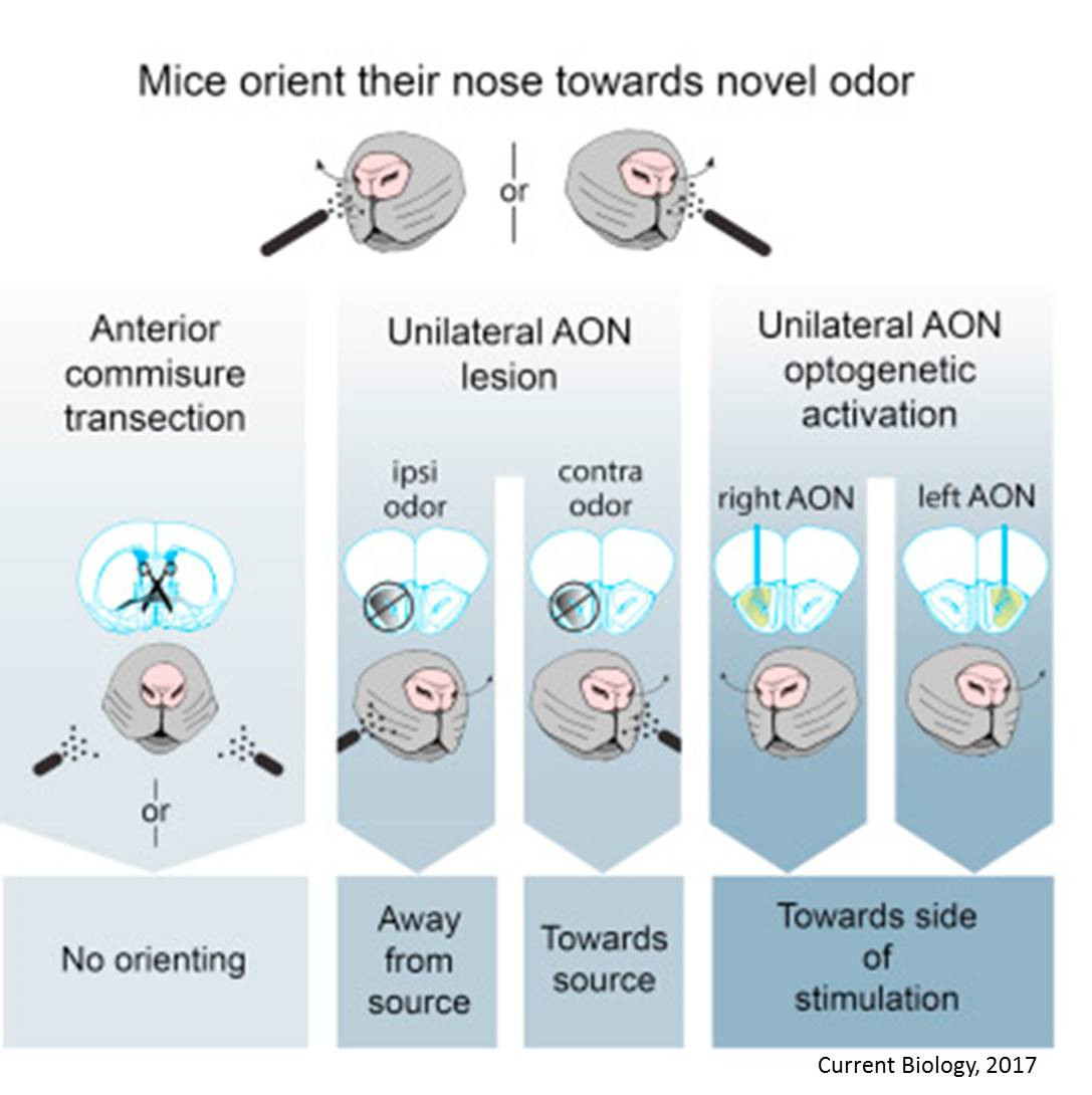 Mechanism behind rapid smell source localization discovered!