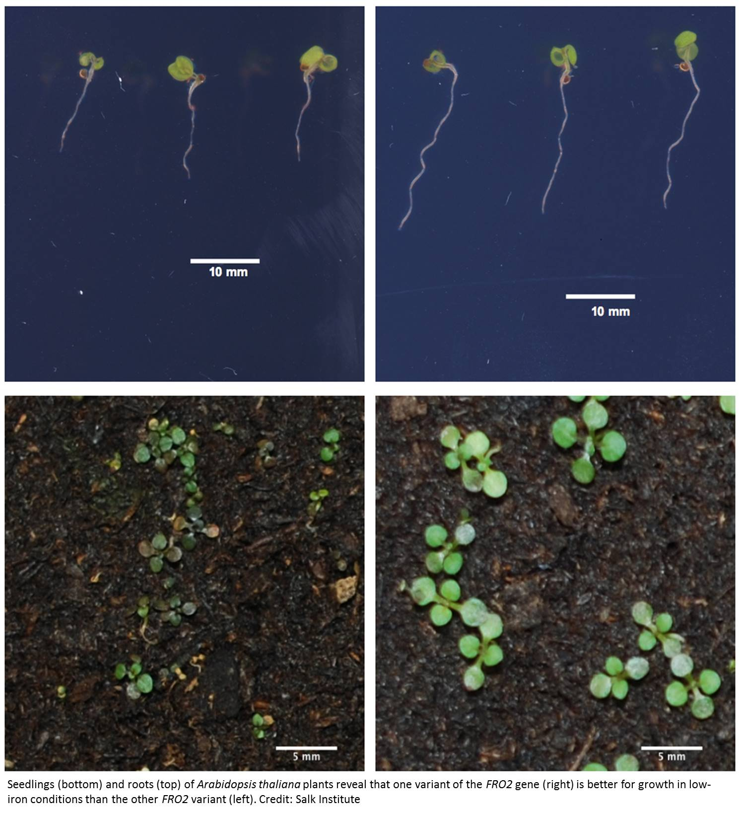 Gene that helps plant grow under iron deficient conditions identified!
