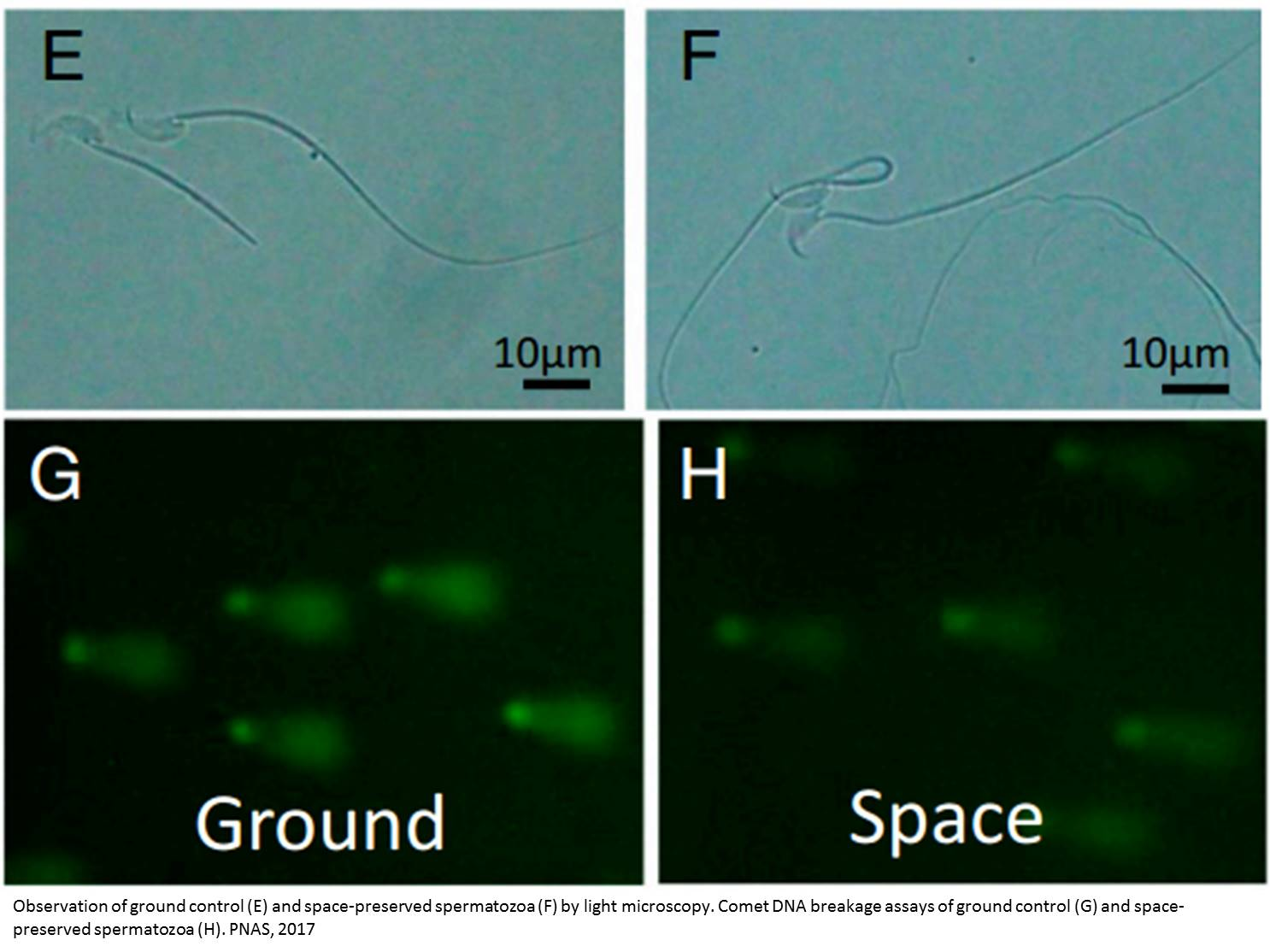Sperm damage at the international space station