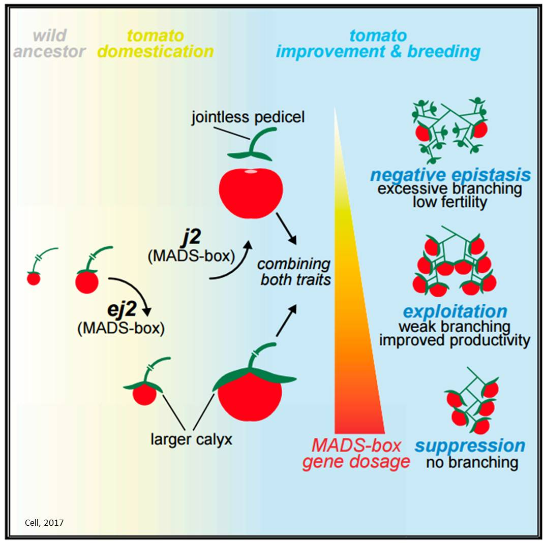 Manipulating gene interactions for higher tomato yields