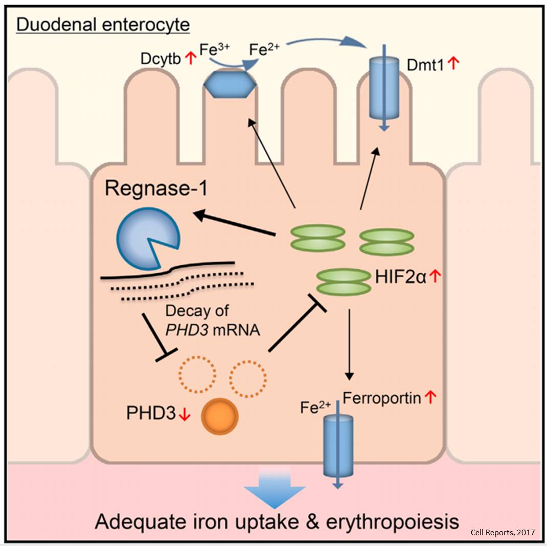 New regulator in iron metabolism in mice