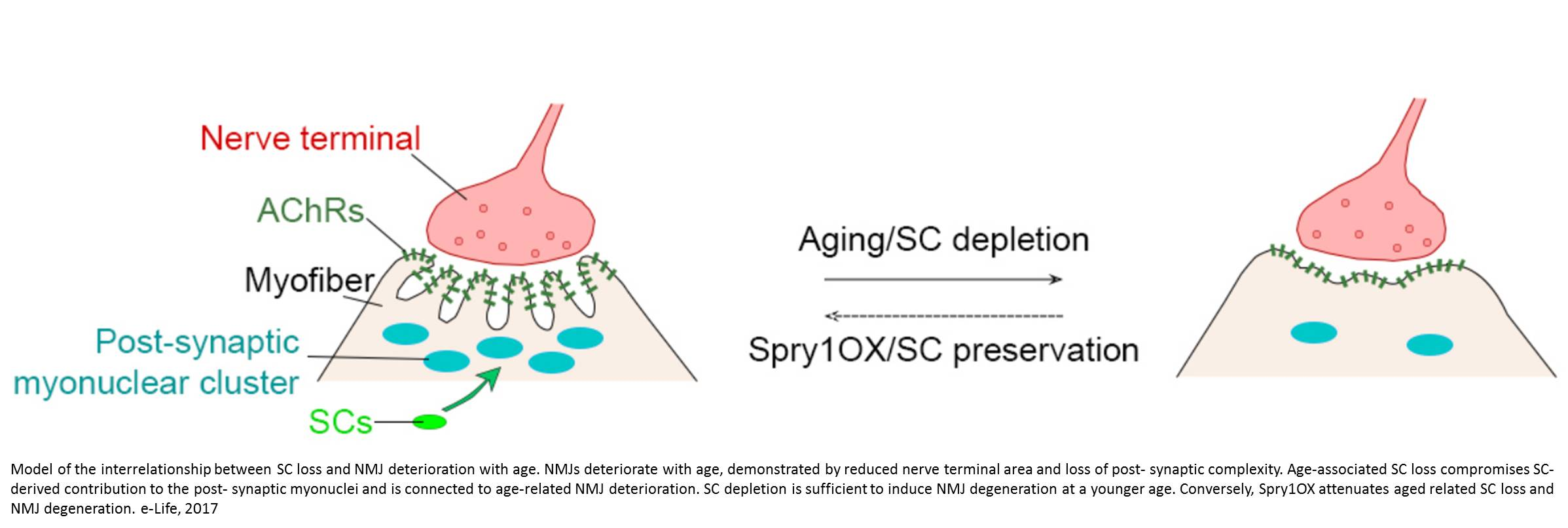 Stem cells may be the key to staying strong in old age