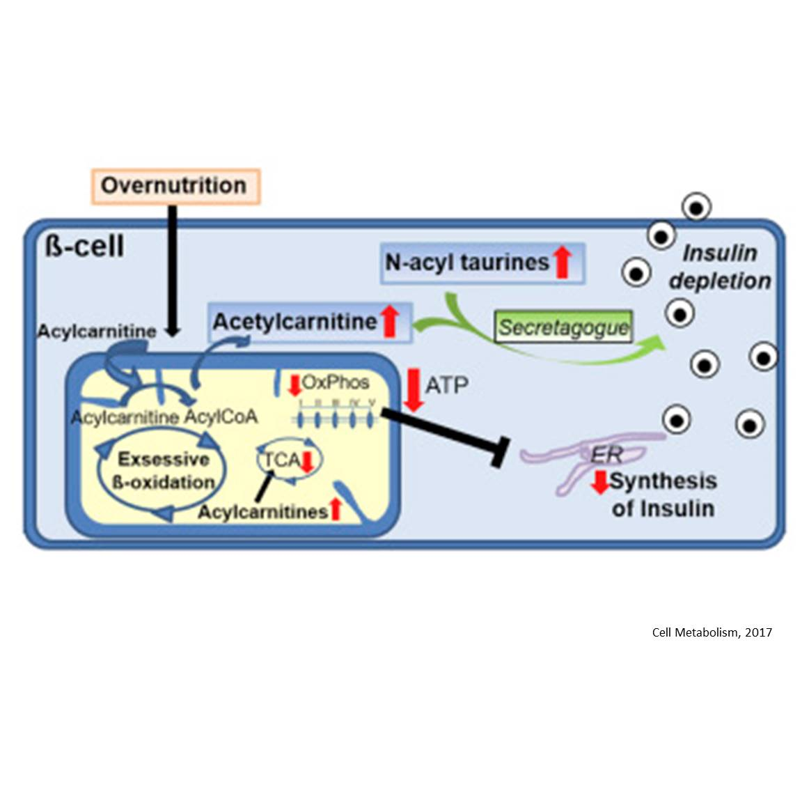 Mechanism of β cell dysfunction in type 2 diabetes (T2D)