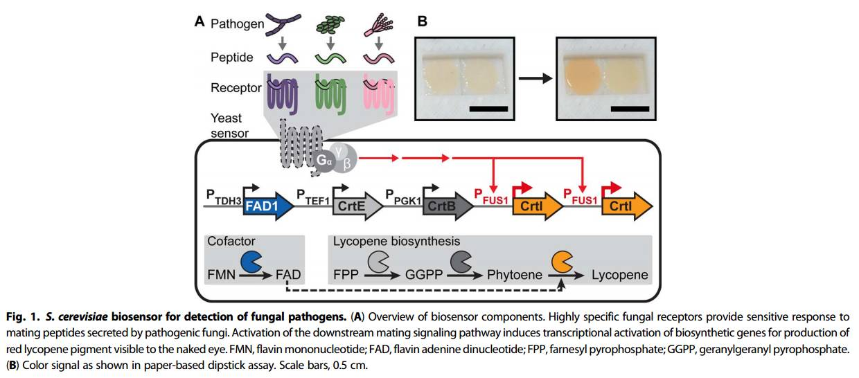 Yeast-based biosensor for pathogen detection