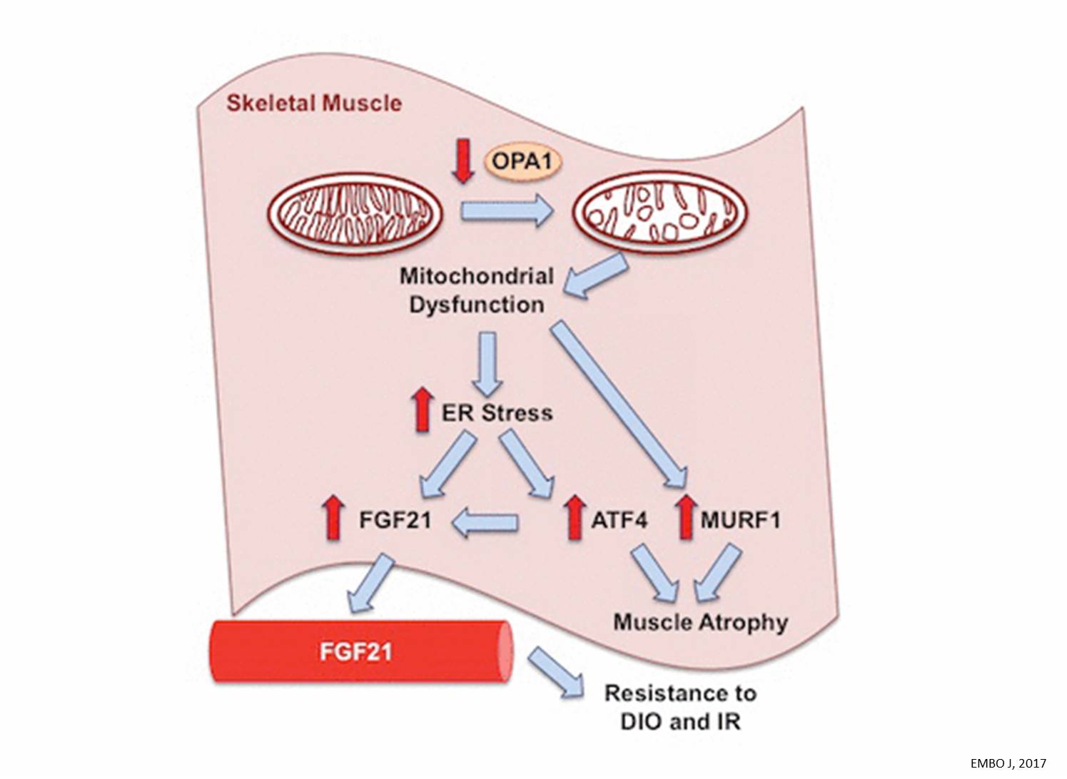 Mild muscle stress prevents obesity and diabetes in mice