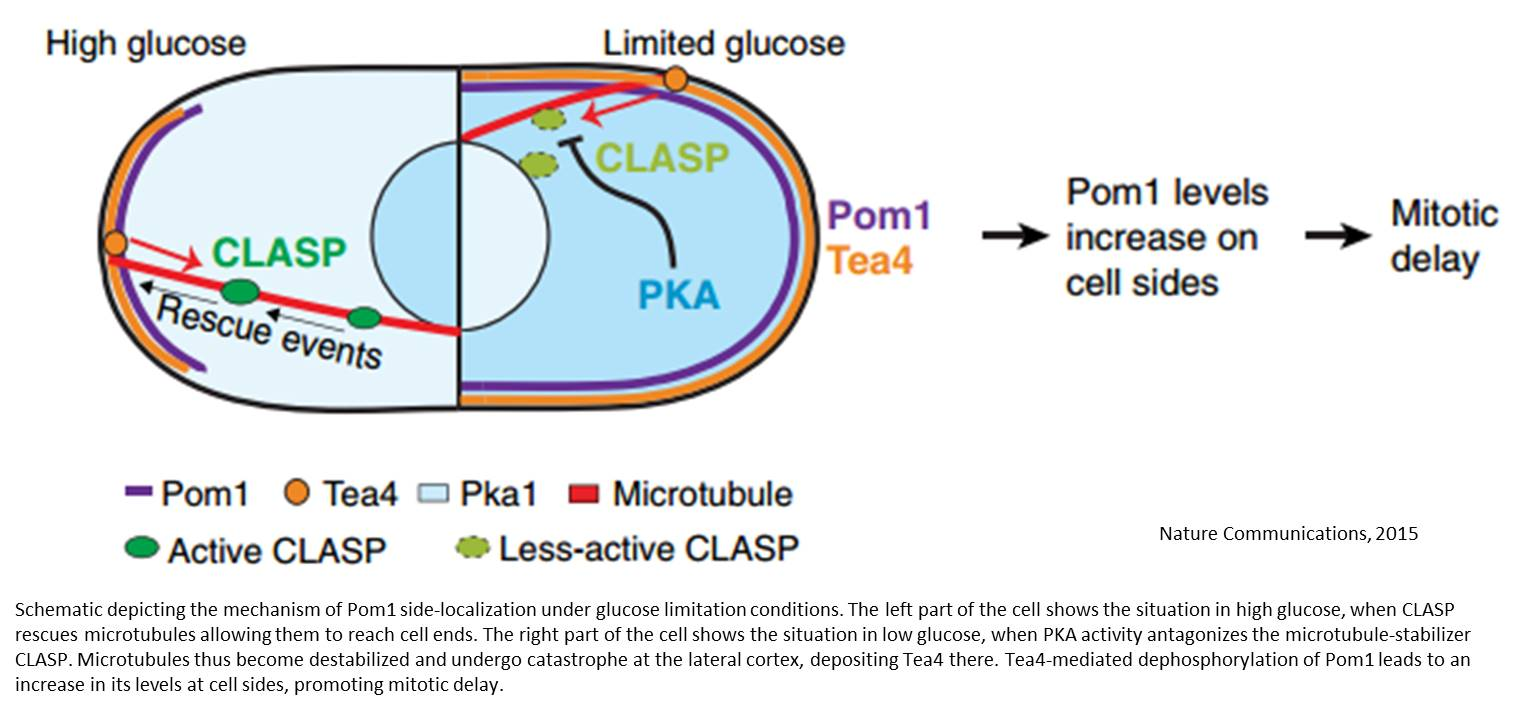 Yeast cell size control!