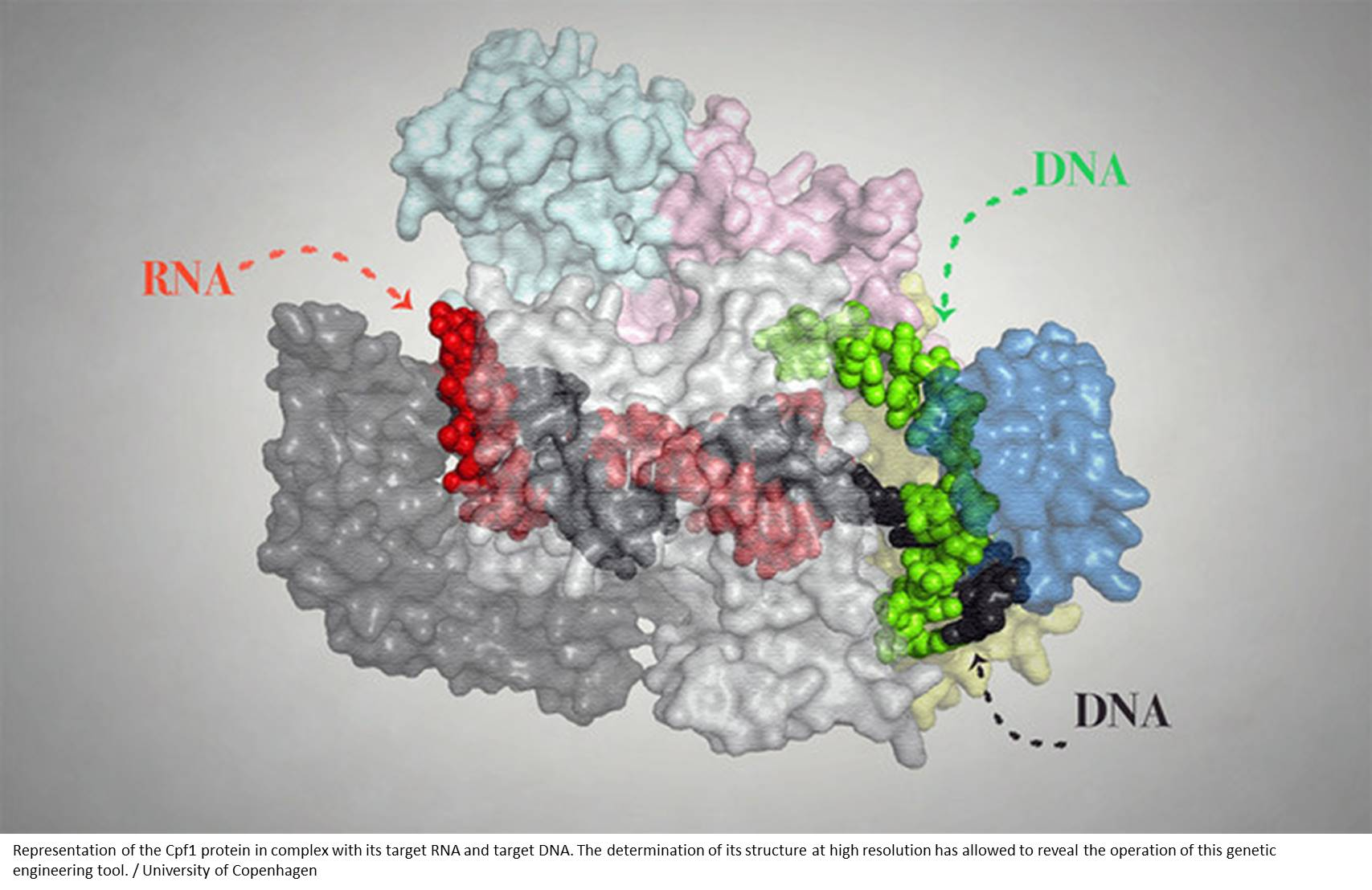 Structure of genome editing protein unraveled!
