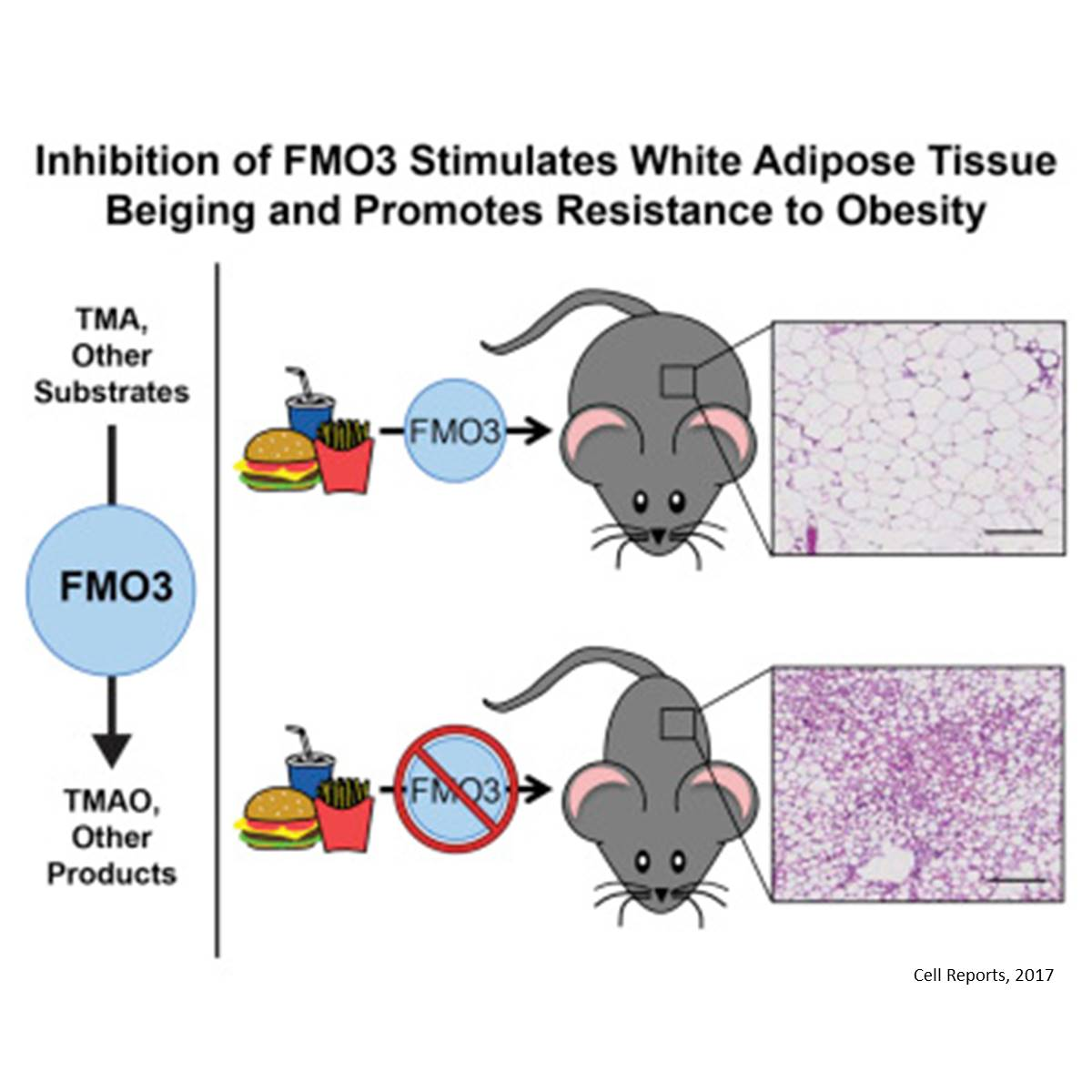 Altering gut bacteria pathways may stimulate fat tissue to prevent obesity