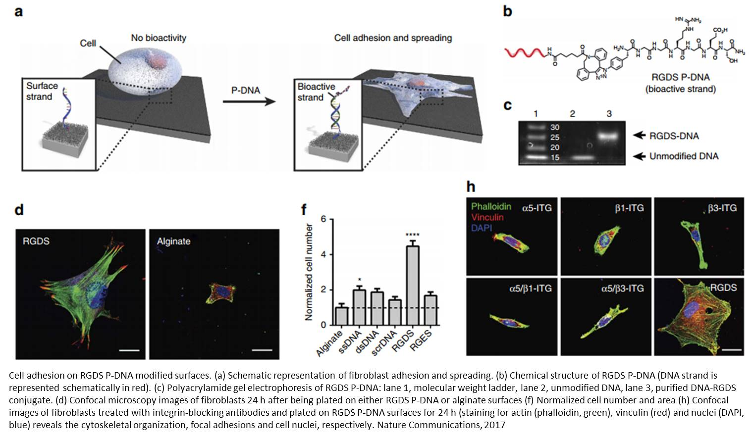 Cell manipulation with programmable peptide DNA hybrids