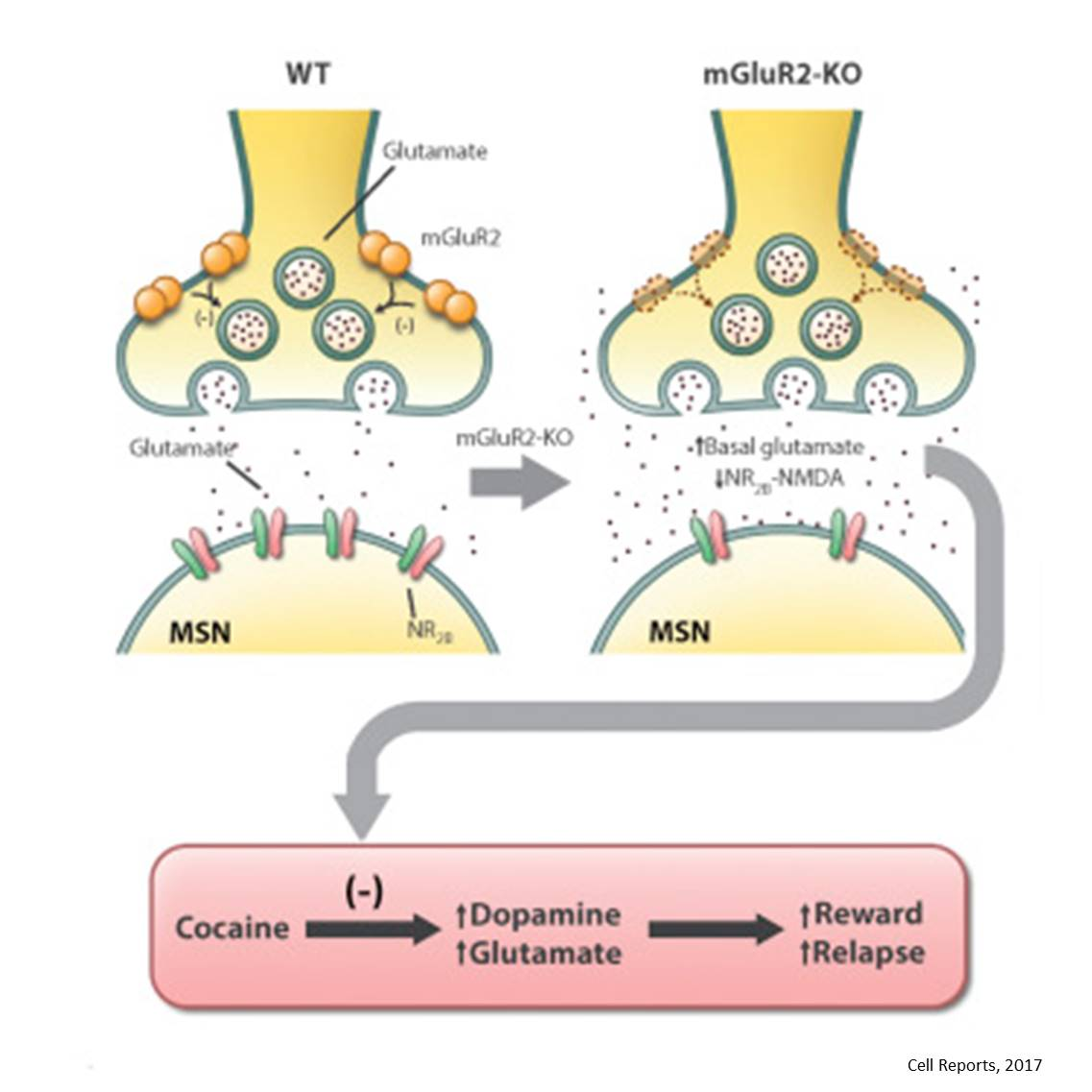 Another receptor involved in drug addiction identified!