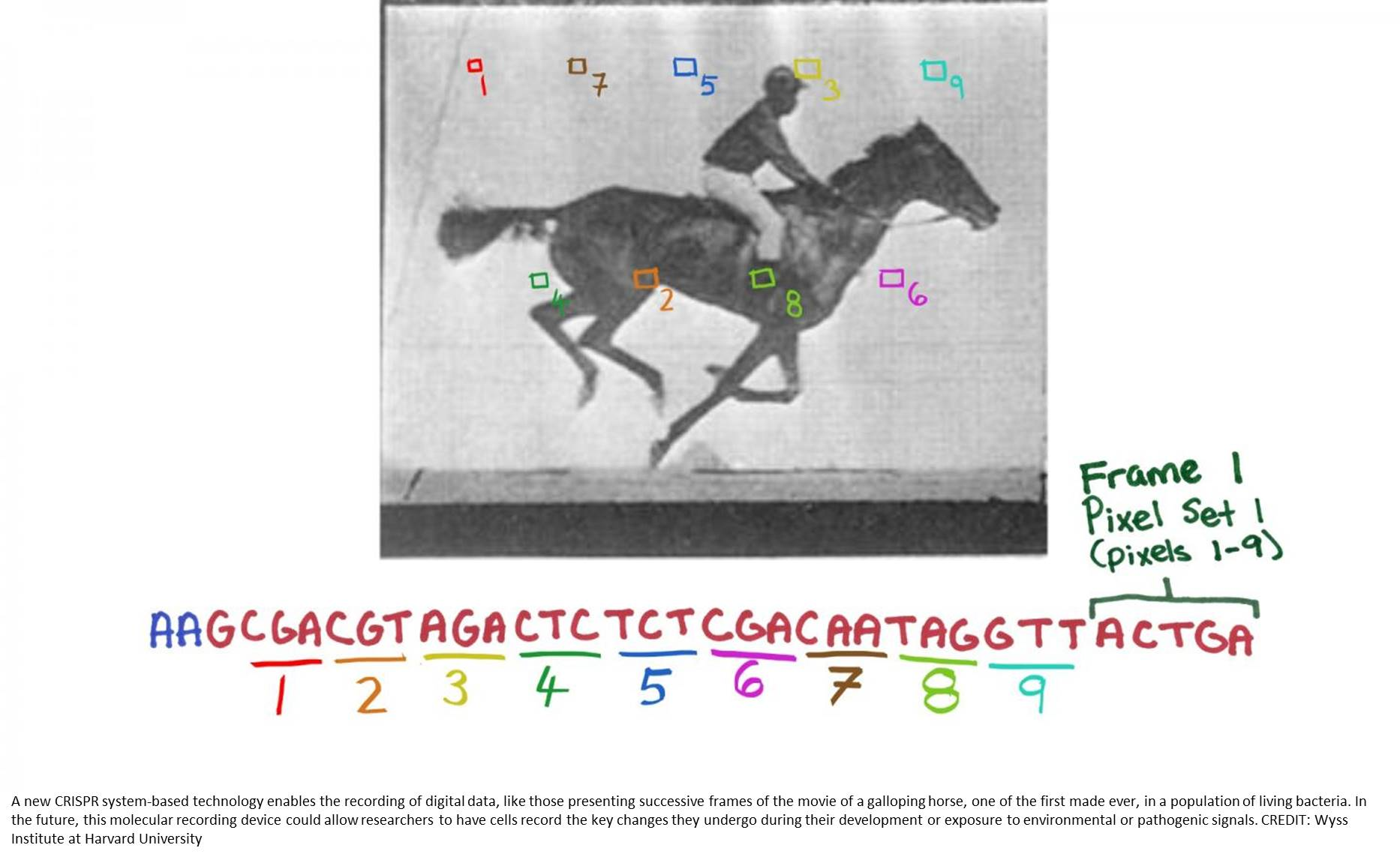 Storing and replaying a movie encoded in bacterial genome