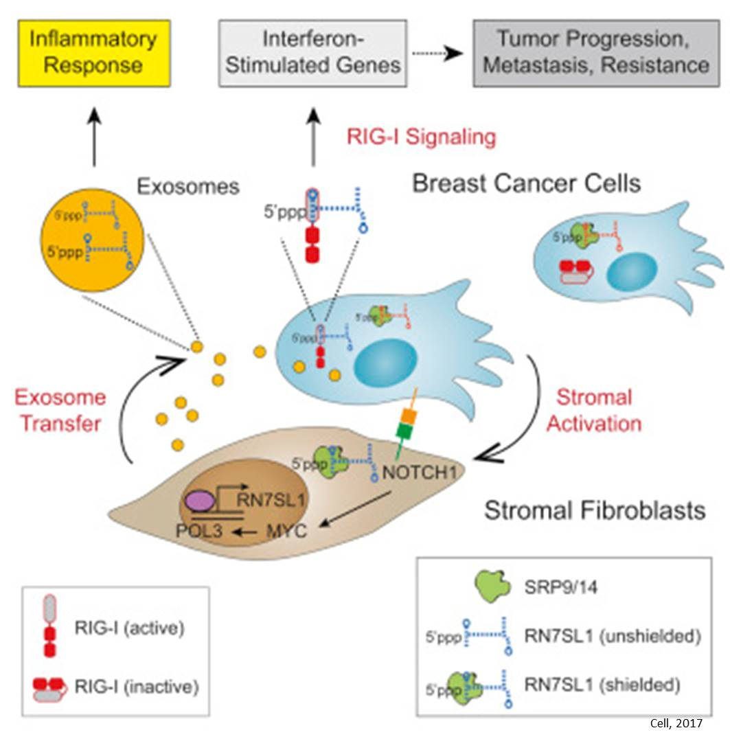 Cancer cells force normal cells to secret virus like exosomes to help tumors spread, resist treatment