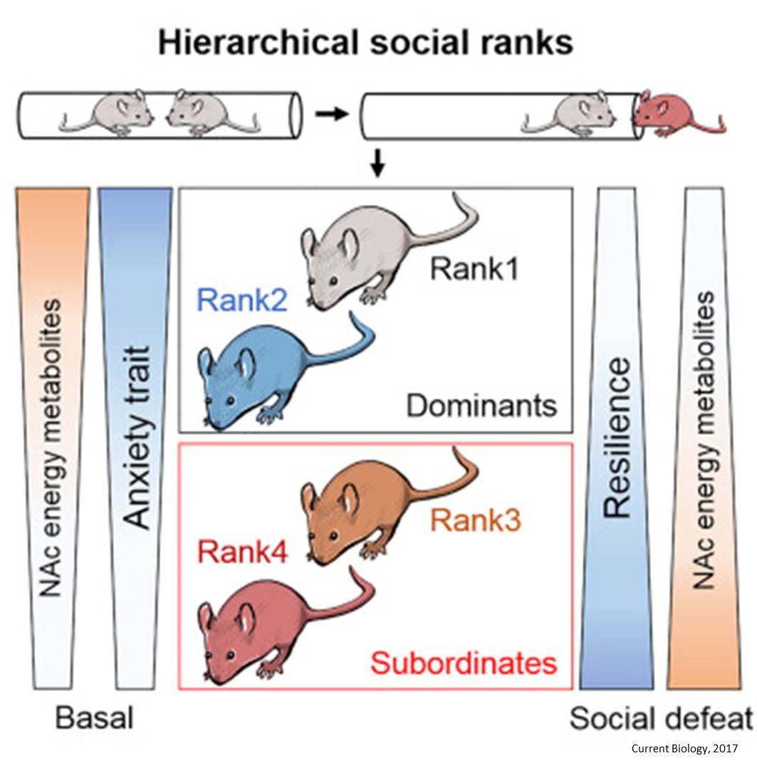 How social rank can trigger vulnerability to stress