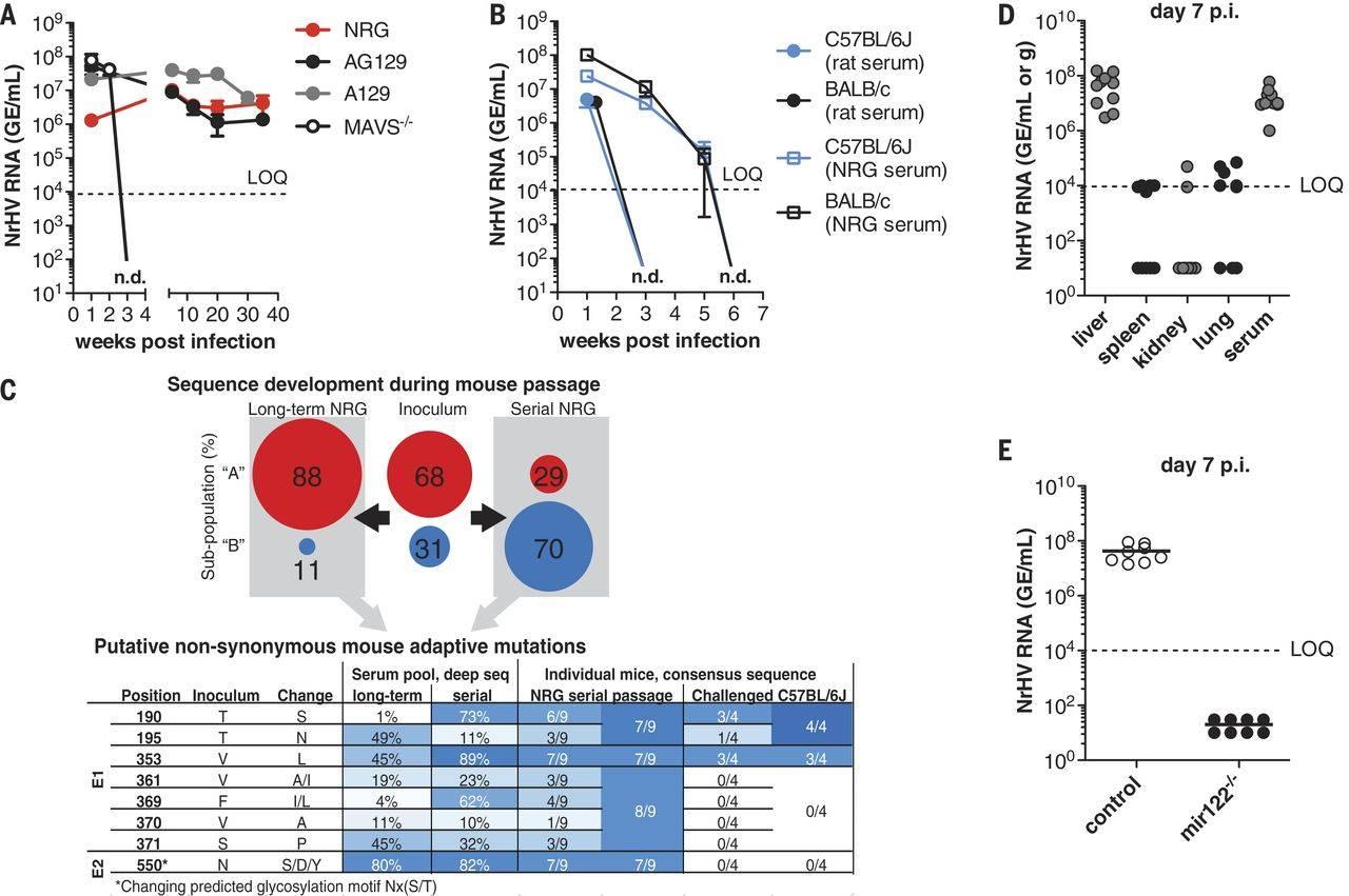 New animal models for hepatitis C developed!