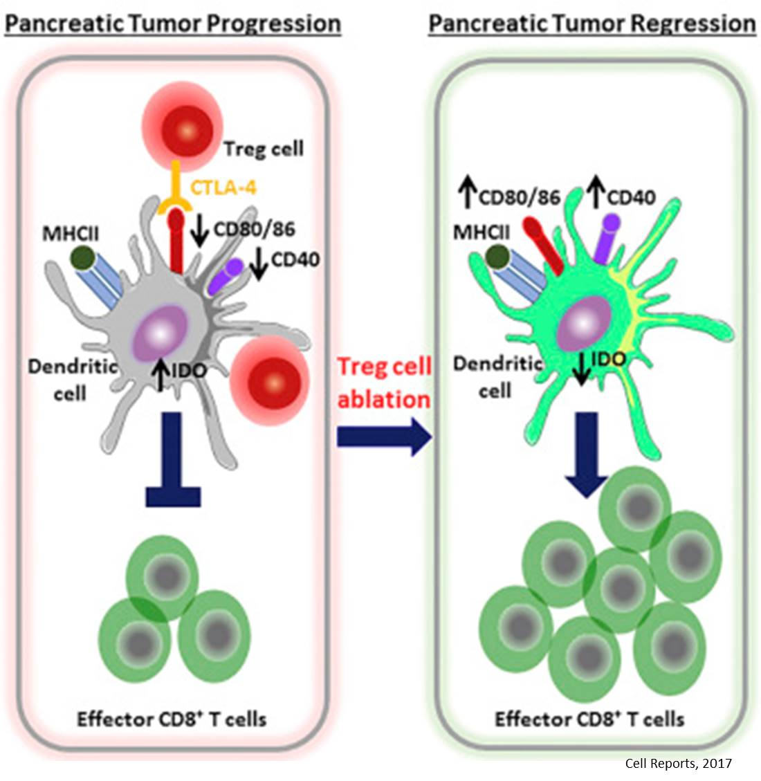 Pancreatic tumors manipulate the cross talk between immune cells to prevent attack!